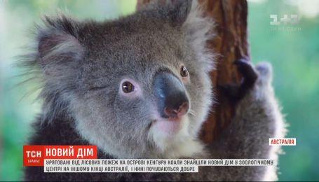 Врятовані від лісових пожеж коали прижилися у звіринці на іншому кінці Австралії