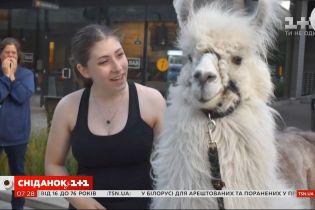 Пушистый миротворец: на протесты в Портленде регулярно приходит лама Цезарь