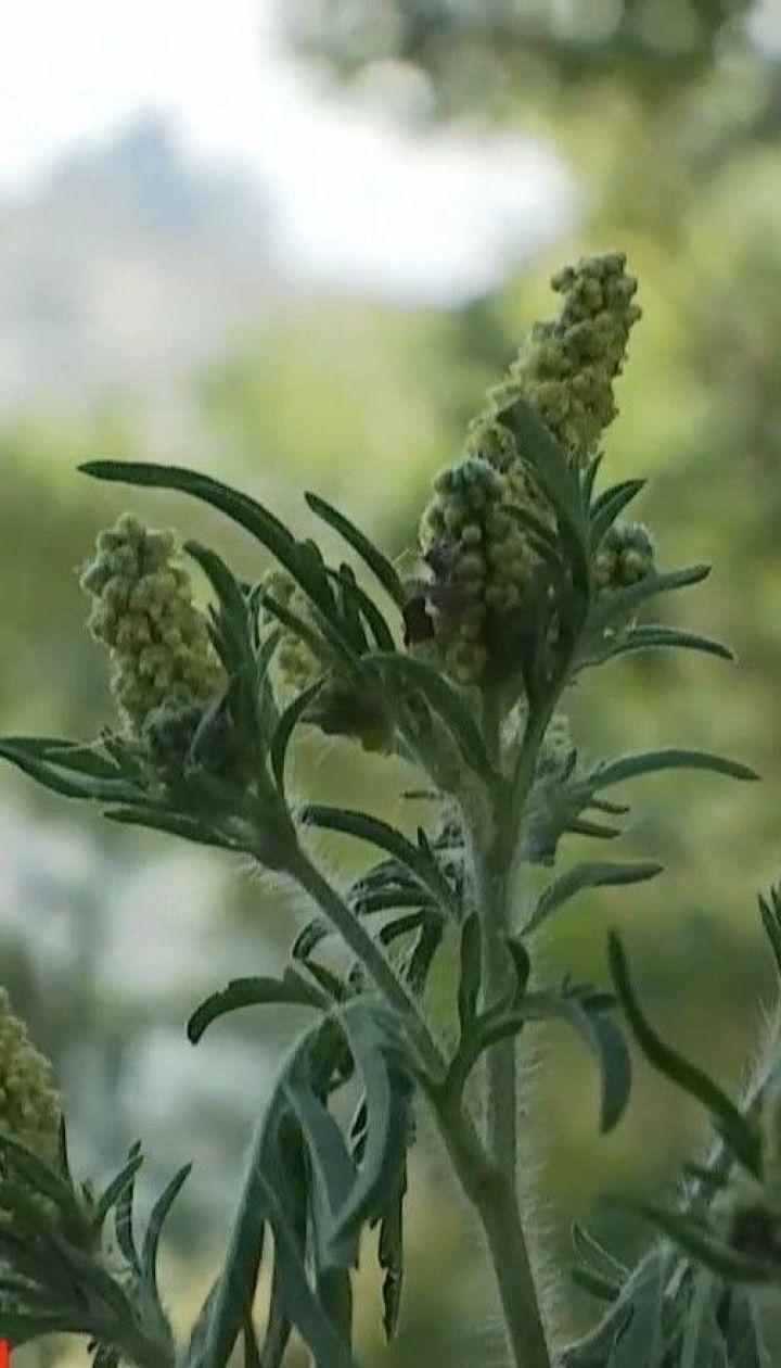 Аллергики начеку: чем опасно неконтролируемое распространение амброзии