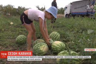 """У Херсонській області масово почали збирати """"багарні"""" кавуни"""