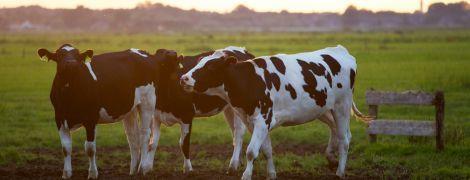 В Дагестане открыли штрафплощадку для непослушных коров