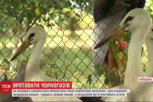 У Київській області сімейна пара прихистила осиротілих лелеченят