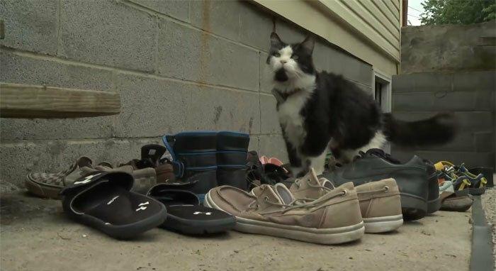 кіт краде взуття