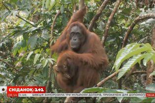 """""""Лісова людина"""": що варто знати про орангутанів"""