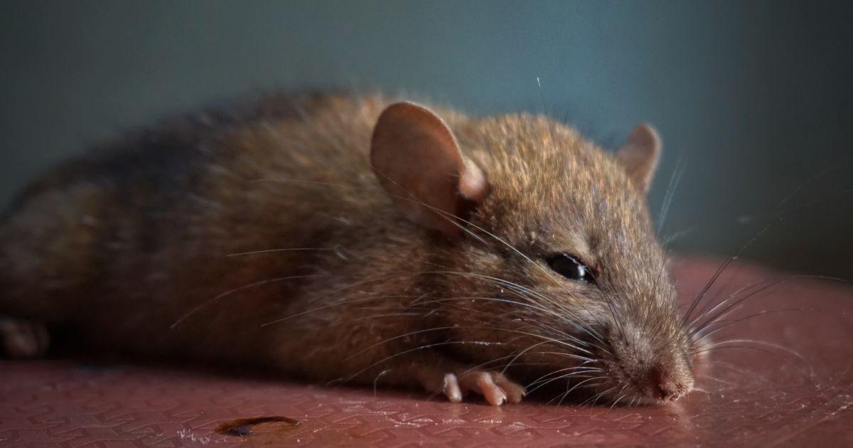 В киевском супермаркете крыса ела хлеб прямо с полки: появилось видео