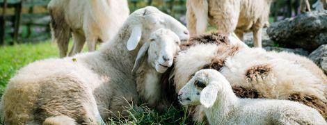 Масштабна евакуація: з гір у Франції вивозять овець