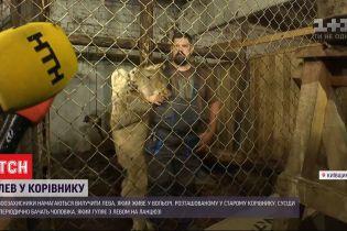 У Київській області чоловік тримає дорослого лева у корівнику