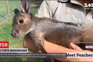 В Австралії маленький кенгуру застряг за решіткою радіатора після ДТП і вижив