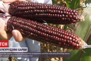 На украинском агрорынке появилась фиолетовая съедобная кукуруза