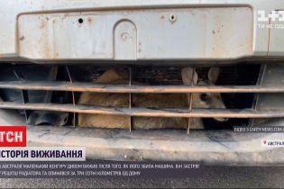 В Австралії маленький кенгуру застряг у решітці радіатора після того, як його збила машина