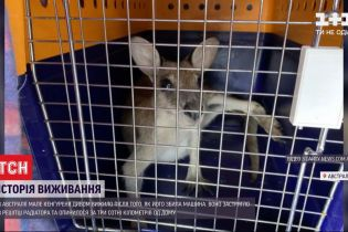 В Австралії маленький кенгуру після ДТП проїхав три сотні кілометрів у решітці радіатора