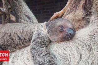 У Лондонському зоопарку показали новонародженого лінивця