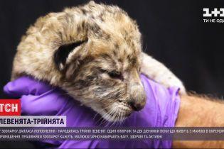В техасском зоопарке родились львята-тройняшки