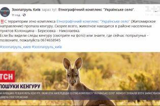 Втеча сумчастого: у Київській області розшукують кенгуру