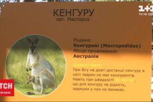 Кенгуру, який втік з етнокомплексу в Київській області, побачили за 10 кілометрів від місця втечі