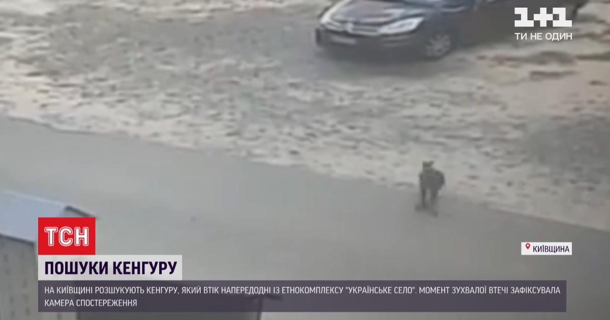 Під Києвом розгулює кенгуру: на відео тварина прострибнула автомобілі на парковці і зникла у полі