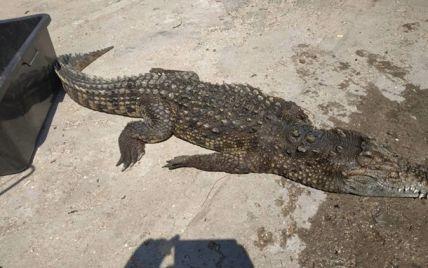 Крокодила, якого помітили на Арабатській стрілці, дістали з води мертвим