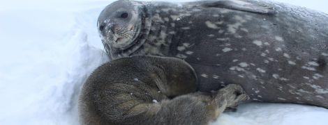 На українській полярній станції вперше народилося тюленя - охочі можуть допомогти назвати малюка