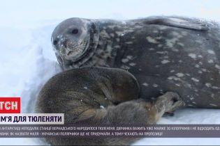 Поповнення в Антарктиді: поблизу української станції народилось тюленя