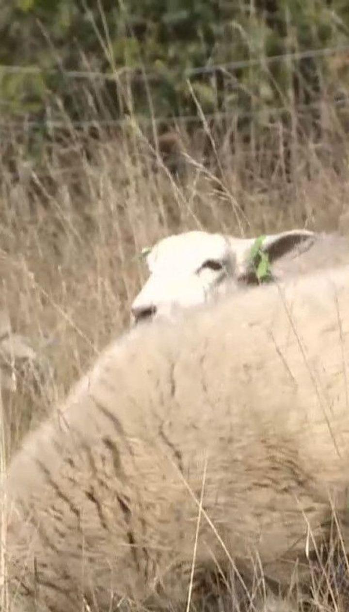 Замість газонокосарок: у чеській столиці вже кілька років вівці та кози з`їдають бур`ян