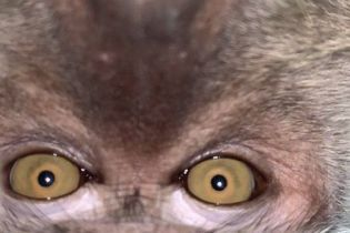У Малайзії мавпа поцупила в хлопця айфон та наробила селфі