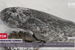 Тюленя, народжене в Антарктиді, назвали Галею