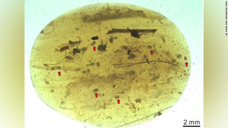 В этом крошечном кусочке янтаря, найденном в Мьянме, были обнаружены ракообразные остракоды.