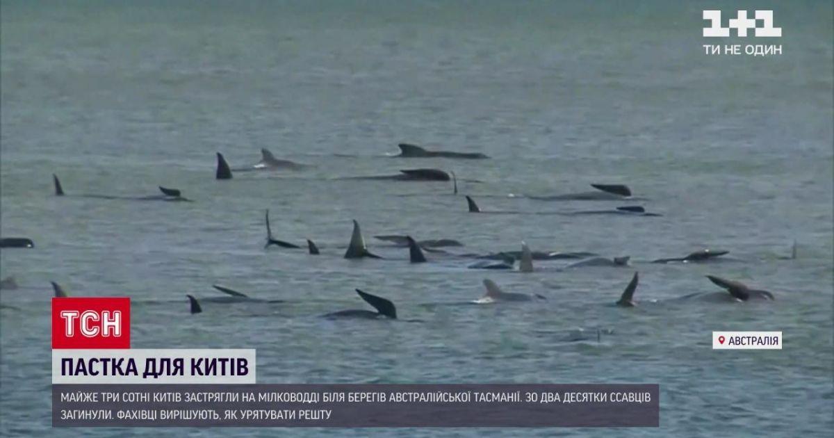 До почти 400 возросло число погибших китов у тасманийских берегов