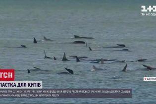 До майже 400 зросла кількість загиблих китів біля тасманійських берегів