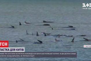 Біля берегів австралійського острова Тасманія на мілководді застрягли 3 сотні китів