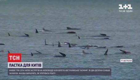 У берегов австралийского острова Тасмания на мелководье застряли 3 сотни китов