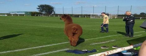 Альпака зупинила футбольний матч в Англії та поганяла полем: кумедне відео стало вірусним у соцмережі