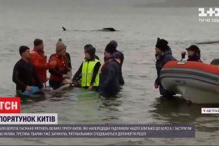 Третина загинула, інших намагаються врятувати – як відбувається порятунок тасманських китів