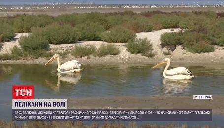 Пеликаны на свободе: владельцы одесского ресторана отпустили птиц