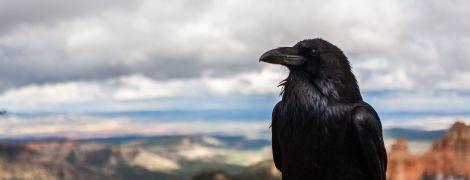 Учені вперше продемонстрували, що ворони можуть свідомо мислити