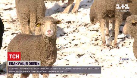 Во французских Альпах массово эвакуируют овец