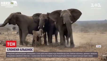У ПАР дорослі слони з радістю прийняли до себе у стадо слоненя-альбіноса