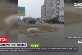 Свиная прогулка: по улицам Сум разгуливал поросенок