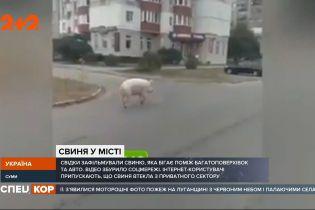 У центрі Сум містян наполохала свиня