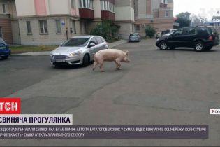"""Сумська свиня: у середмісті самовидці відзняли прогулянку вгодованої """"льохи-мандрівниці"""""""