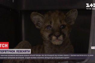В Северной Калифорнии спасли львенка, пострадавшего от лесных пожаров