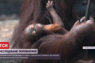 В британском зоопарке родился редкий калимантанський орангутан