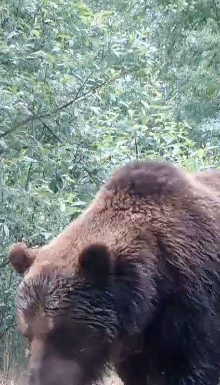 У Чорнобильському заповіднику з'явився бурий ведмідь