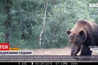 В Чернобыльском заповеднике участились случаи встречи с бурым медведем