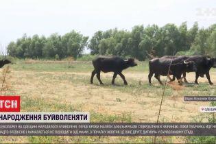 Рогате поповнення: в екопарку народилося маля буйвола