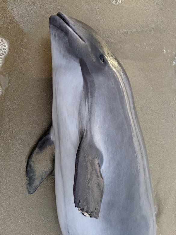 мертвий дельфін
