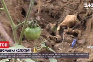 В Херсоне на разрытом канализационном коллекторе выросли и плодоносят помидоры