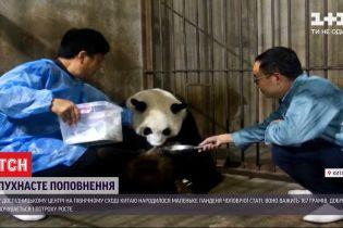 Четверте панденя за рік: зооцентр в Китаї похизувався пухнастим поповненням