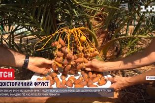 Древний фрукт: израильским ученым удалось вырастить растение, которому более 2 тысяч лет