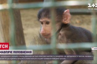 Поповнення в екопарку: у Харкові народилися 6 бабуїнів та гамадрил